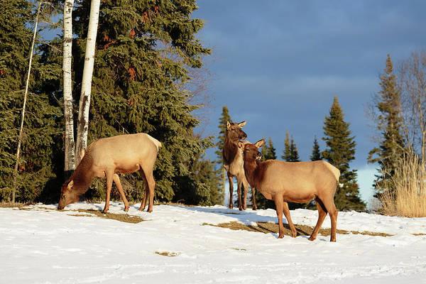 Waskesiu Photograph - Elks by Cesar Pineyro