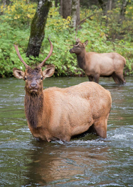 Photograph - Elks Wading The Oconaluftee River by Andy Crawford