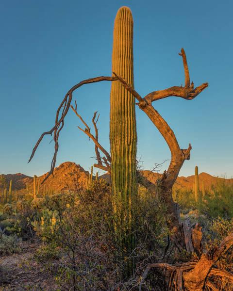 Saguaros Photograph - Embrace by Joseph Smith