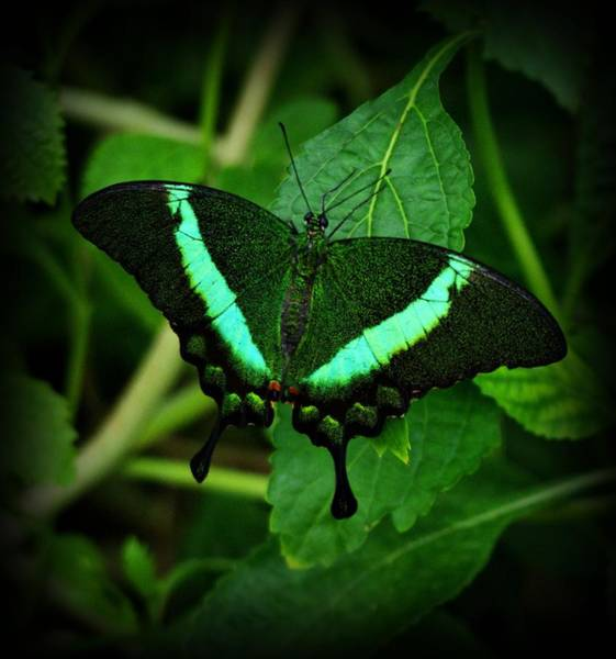 Photograph - Emerald Swallowtail by Sandy Keeton
