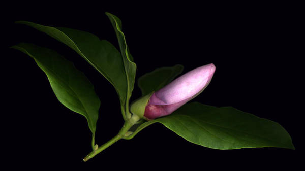 Photograph - Emerging Magnolia by Deborah J Humphries