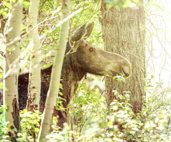 Photograph - Emerging Moose At Sunrise by Dan Sproul