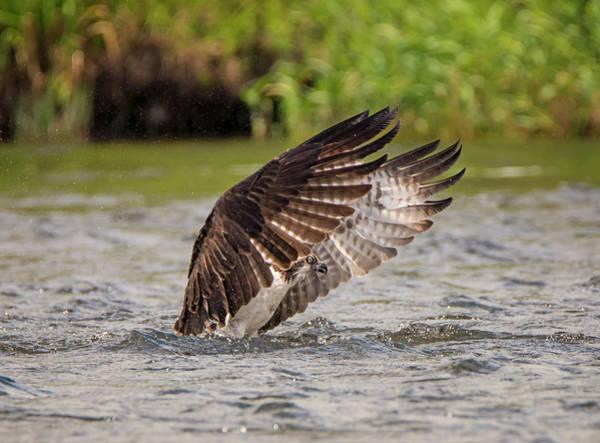 Photograph - Emerging Osprey by Loree Johnson