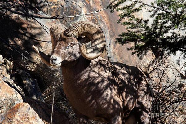 Photograph - Emerging Ram by Jim Garrison