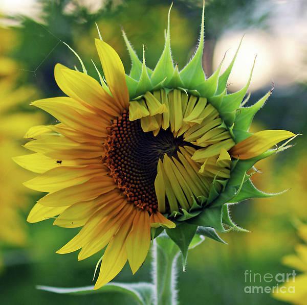 Photograph - Emerging Sunflower by Jennifer Robin