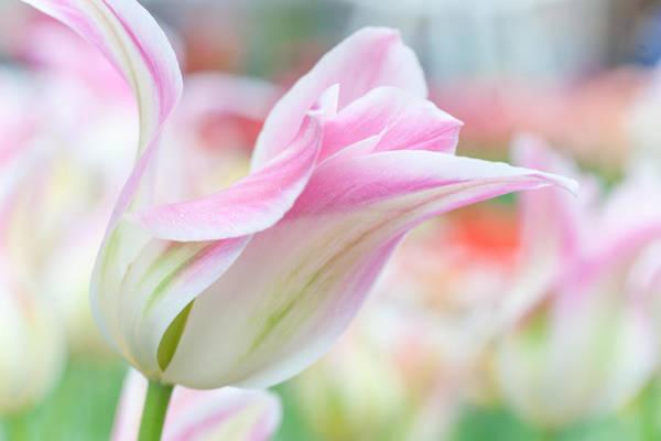 Dutch Tulip Photograph - Emollient Lightness. Tulips Of Keukenhof by Jenny Rainbow