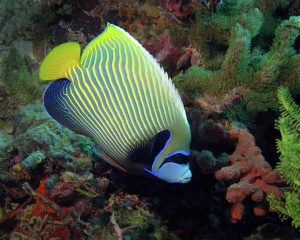 Photograph - Emperor Angelfish, Indonesia by Pauline Walsh Jacobson