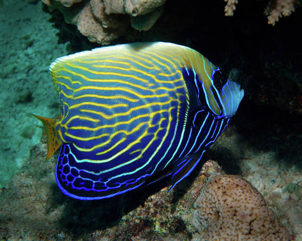 Photograph - Emperor Angelfish, Red Sea 1 by Pauline Walsh Jacobson