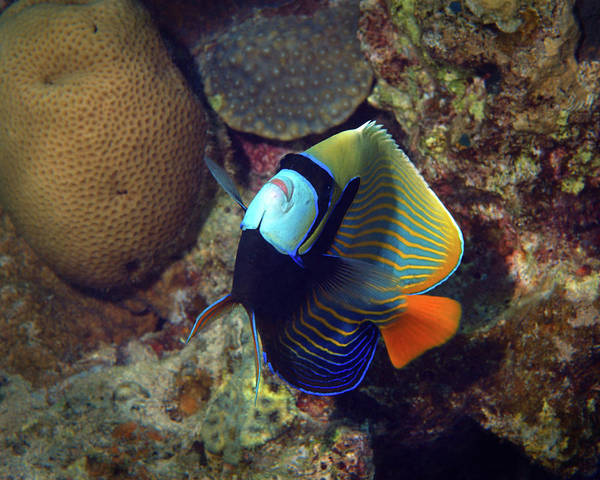 Photograph - Emperor Angelfish, Red Sea 2 by Pauline Walsh Jacobson
