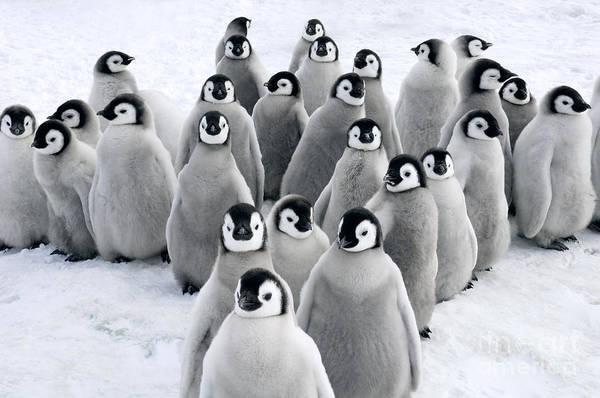 Photograph - Emperor Penguin Chicks by Jan Vermeer