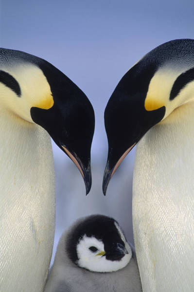 Art Print featuring the photograph Emperor Penguin Family by Tui De Roy