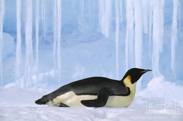 Photograph - Emperor Penguin by Kevin Schafer
