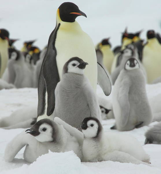 Wall Art - Photograph - Emperor Penguin Pals by Bruce J Robinson
