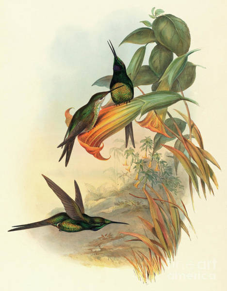 Wall Art - Painting - Empress Hummingbird by John Gould