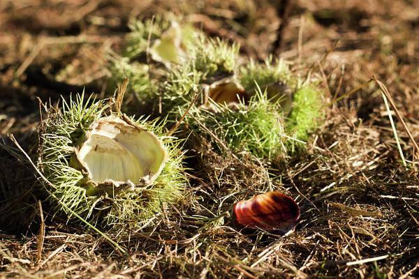 Photograph - Empty Chestnut by Helga Novelli