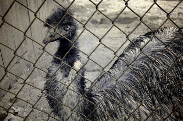 Wall Art - Photograph - Emu At The Zoo by Luke Moore