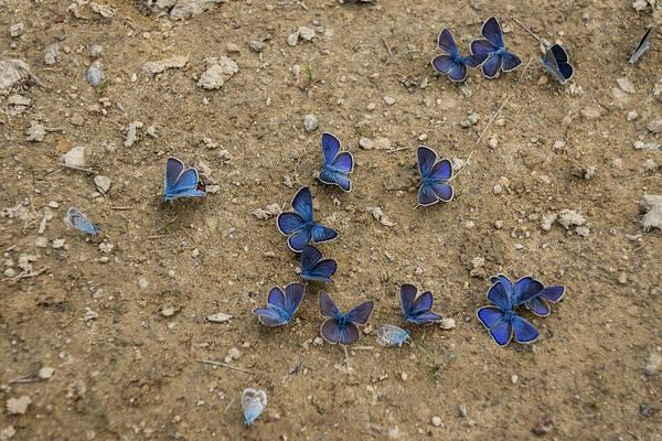 Strange Land Wall Art - Photograph - Enchanting Butterflies - Dainty Sapphires Scattered On Rough Ground by Georgia Mizuleva