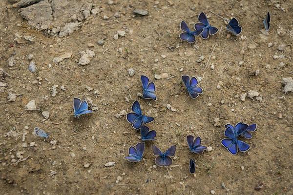 Strange Land Wall Art - Photograph - Enchanting Butterflies - Soft Blue Sapphires On The Ground by Georgia Mizuleva