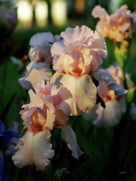 End Of Day Pink Irises 6702 H_2 Art Print