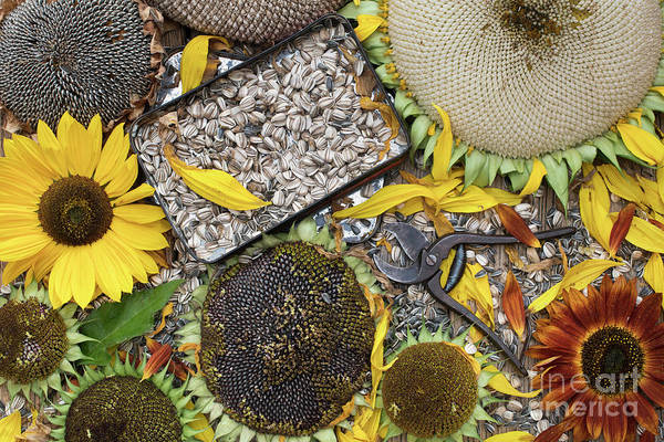 Sunflower Seeds Photograph - End Of Season by Tim Gainey