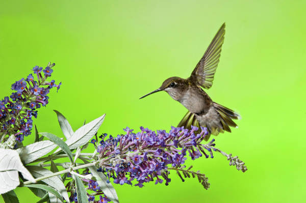 Photograph - End Of Summer Hummingbird 2016 by Lara Ellis
