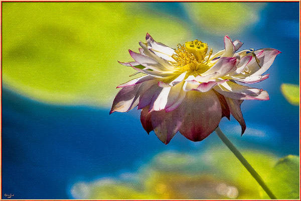 Photograph - End Of Summer Lotus by Chris Lord