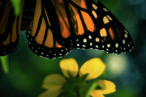 Photograph - End Of Summer Monarch by Jeanette Fellows