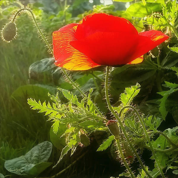 Photograph - Red Poppy At Sunset by Amanda Smith