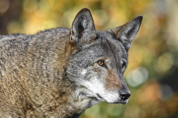 Photograph - Endangered Red Wolf by Wes and Dotty Weber