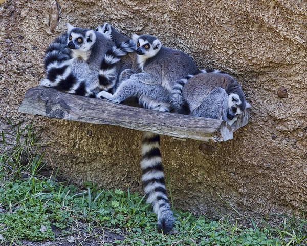 Houston Zoo Photograph - Endangered Ring-tailed Lemur  by TN Fairey