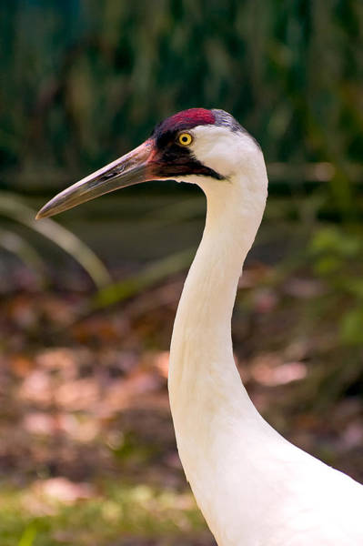Whooping Cranes Photograph - Endangered Species - Whooping Crane by Rich Leighton