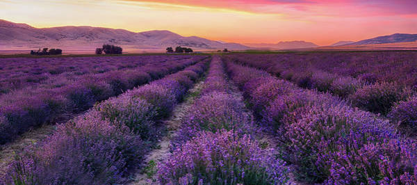 Photograph - Endless Lavendar 65 by Ryan Moyer