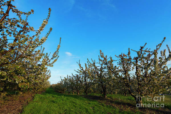 Orchard Photograph - Endless Spring by Mike Dawson