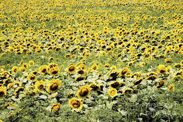 Photograph - Endless Sunflowers by Jim DeLillo