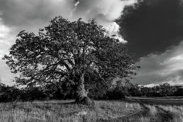 Photograph - Engellman Oak Palomar Black And White by TM Schultze