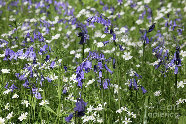 Photograph - English Blue And White Flowers by Julia Gavin