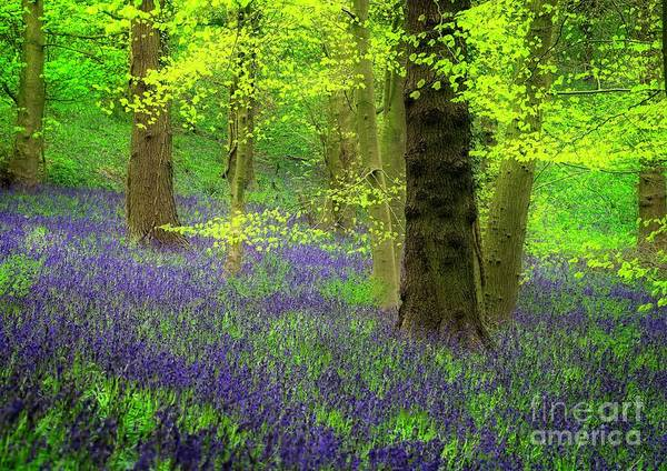 Photograph - English Bluebell Wood In Spring by Martyn Arnold