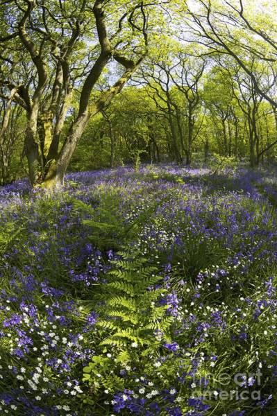 Church Stretton Photograph - English Bluebells, Helmeth Wood, Church Stretton, Shropshire, England, Uk Gb by Peter Barritt