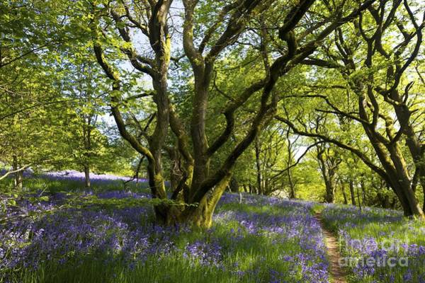 Church Stretton Wall Art - Photograph - English Bluebells, Helmeth Wood, Church Stretton, Shropshire, England, Uk by Peter Barritt