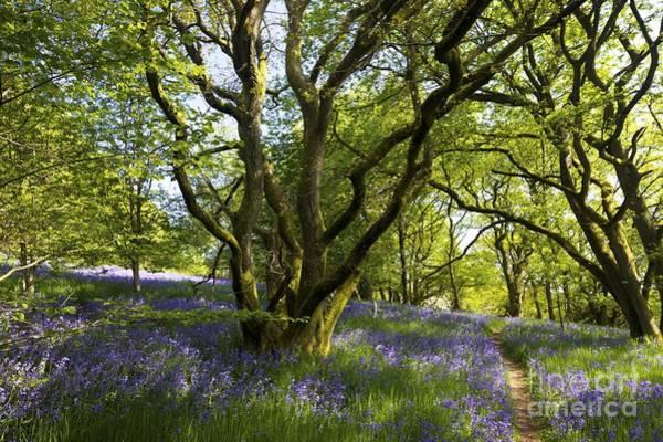Church Stretton Photograph - English Bluebells, Helmeth Wood, Church Stretton, Shropshire, England, Uk by Peter Barritt