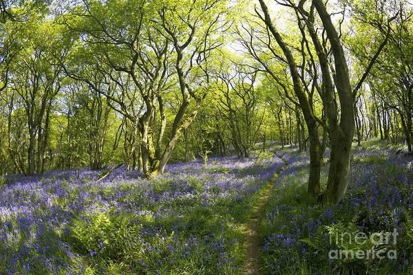 Church Stretton Photograph - English Bluebells,helmeth Wood, Church Stretton, Shropshire, England, Uk Gb by Peter Barritt