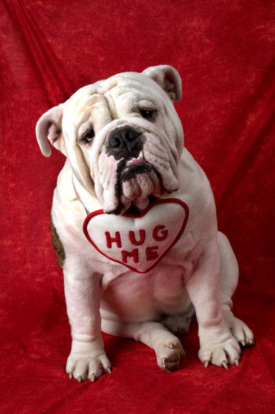 Sweet Puppy Photograph - English Bulldog by Garry Gay