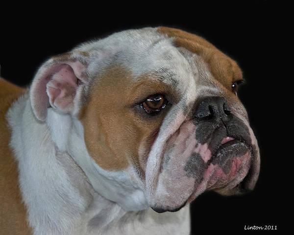 Photograph - English Bulldog by Larry Linton