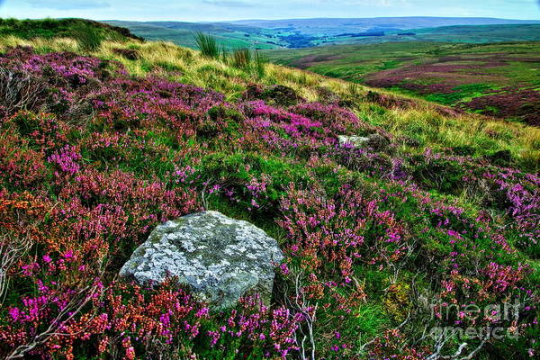 Photograph - English Moorland Heather by Martyn Arnold