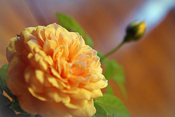 Photograph - English Rose by Cricket Hackmann
