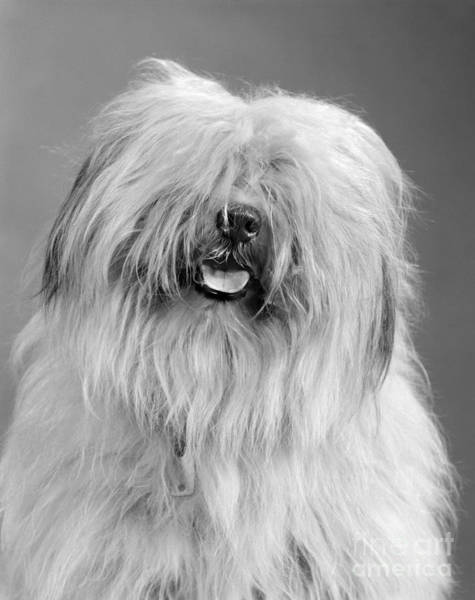 Dog Watch Photograph - English Sheepdog, C.1960s by H. Armstrong Roberts/ClassicStock