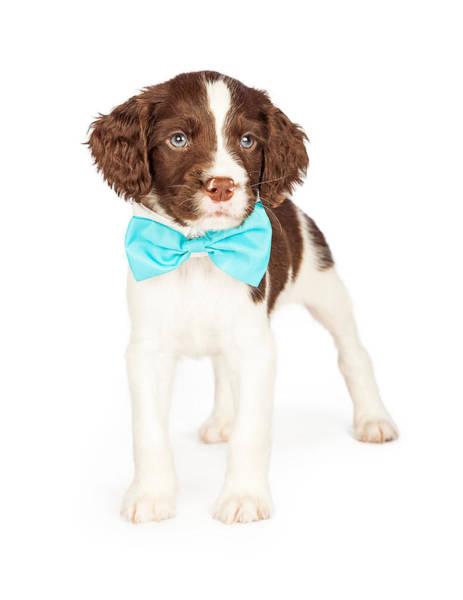 Wall Art - Photograph - English Springer Spaniel Puppy Wearing Bow Tie by Susan Schmitz