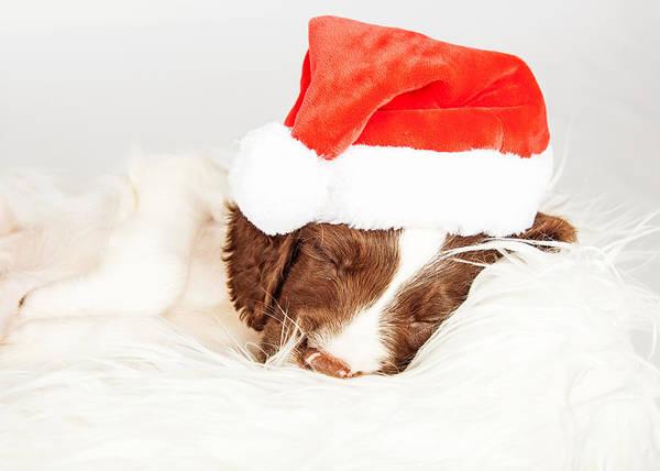 Wall Art - Photograph - English Springer Spaniel Puppy Wearing Santa Hat While Sleeping by Susan Schmitz