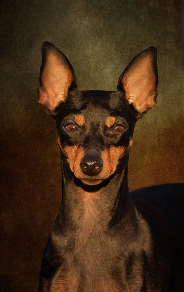 Photograph - English Toy Terrier by Diana Andersen