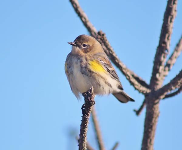 Yellow-rumped Warbler Photograph - Enjoying The View by Karen Silvestri